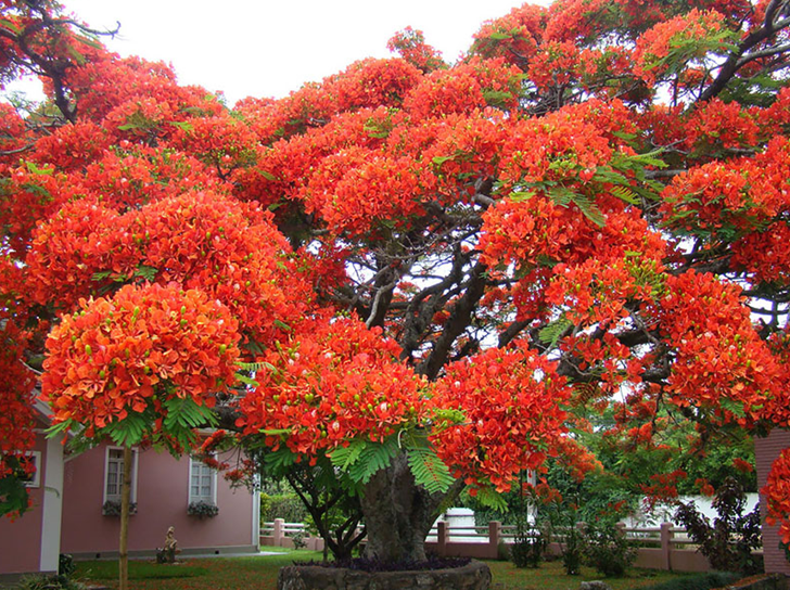 Flamboyant tree in Brazil