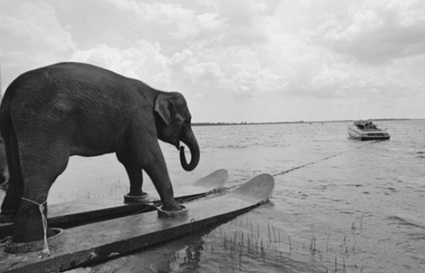Waterskiing elephant